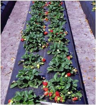 Черная пленка для выращивания клубники 307