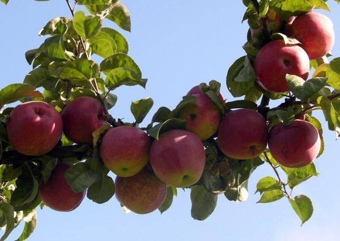 О сорте яблони подарок графскому