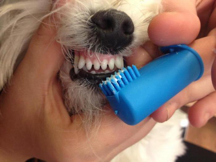 Удаление зубного камня йорку