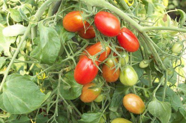 Заготовки томатов дамские пальчики